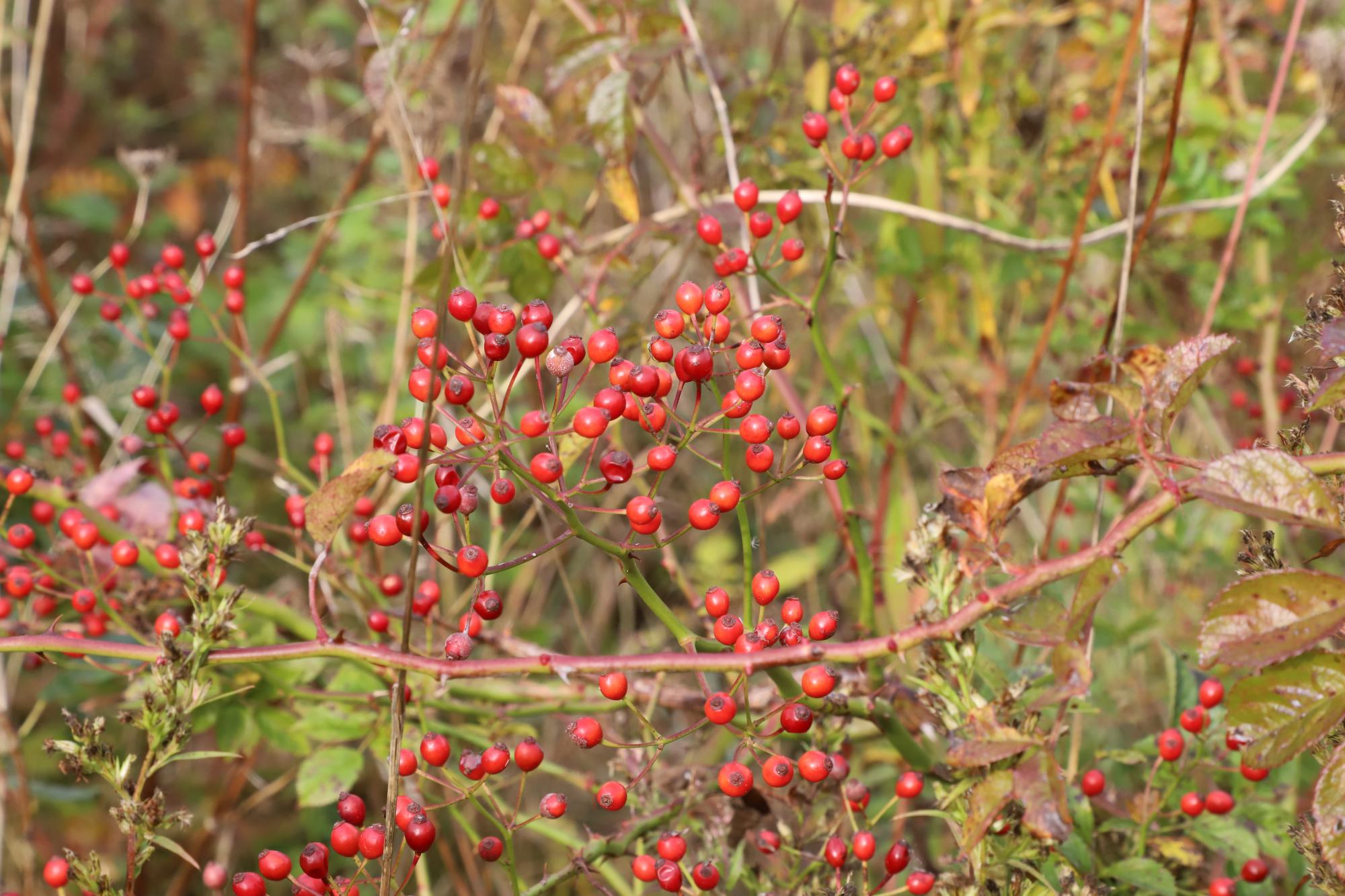 2017-10-21 Westminster Ponds - Berries