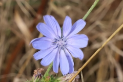 2017-10-21 Westminster Ponds - Chicory