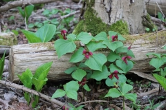 2018-05-09 Coldstream - Group of Red Trilliums