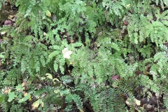 A gathering of Maidenhair Ferns (Adiantum).