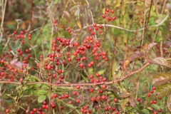 2017-10-21-Westminster-Ponds-Berries