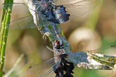 2017InsectContest_black-saddlebags-dragonfly2015-don-webb