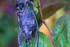 2017InsectContest_Dog-Day-Cicada-IMG_6120-NL1-Stan-Caveney
