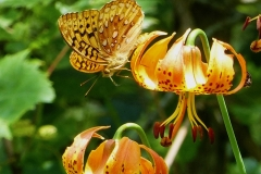 Great Spangled Fritillary hiding