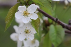 2018-05-09-Coldstream-Apple-Blossoms