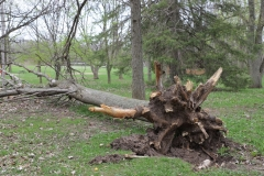2018-05-09-Coldstream-Downed-Tree2