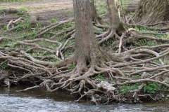 2018-05-09-Coldstream-Tangle-of-Roots-on-Riverbank