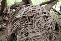 2018-05-09-Coldstream-Tangled-Cedar-Roots2