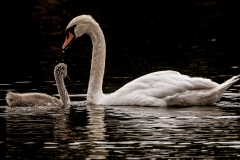 2019ReflectionsContest-_Swans_0315-S-DEMIR