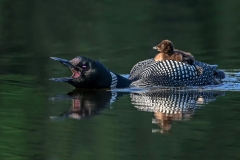 2019ReflectionsContest-_1ST-PLACE-LOON-AND-CHICK-S-DONNELLY