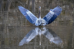 2019ReflectionsContest-_2ND-PLACE-Great-Blue-Heron-May-2-2019-2Ted-Gough