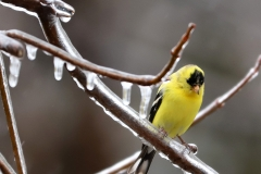2018WeatherContest - 2018-04-15 Male Goldfinch during ice storm - Chris Baldock - b