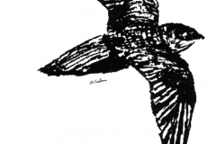 Chimney Swift in Flight Sketch