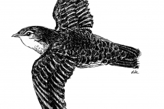 Chimney Swift in Fight Sketch