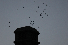 Chimney Swifts - South Collegiate
