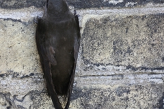 Chimney Swift on Wall