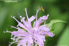 ImageOfTheMonth -2018-07-15 - Common_Oblique_Syrphid_Fly
