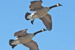 ImageOfTheMonth-2019-07-CanadaGeese-TomReaume