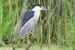 ImageOfTheMonth-2020-09-Black-crownedNight-Heron-LaureNeish